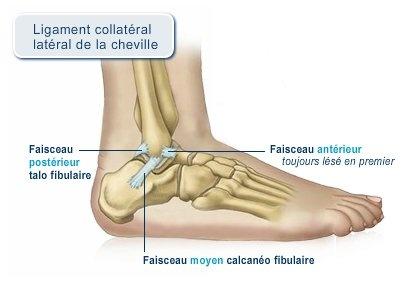 Ligament_collatral_de_la_cheville-409x281